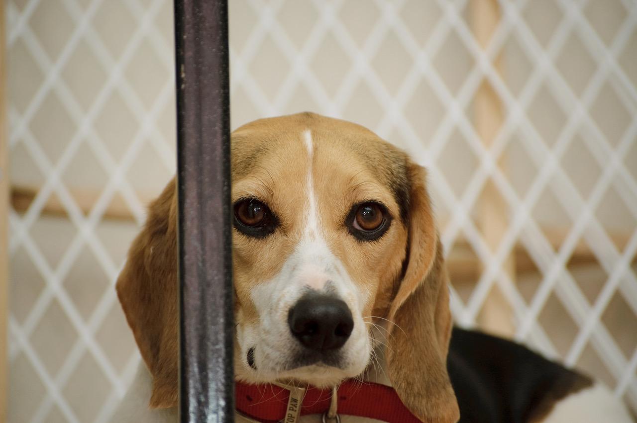 Beagle Photo 4 Ben Mason Via Flickr 1